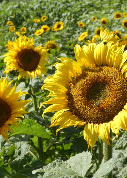 Picture of Sunflower Field