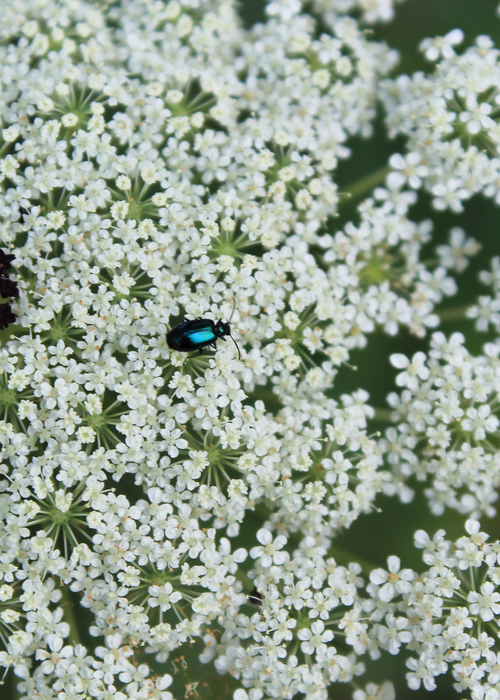 Picture of Queen Anne's Beetle