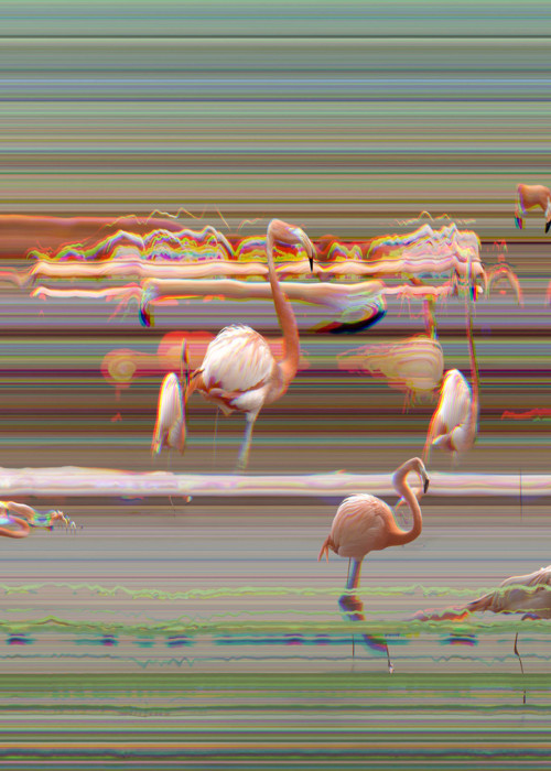 Picture of Flamingos