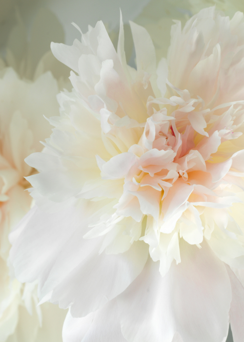 Picture of PEACH BLUSH PEONY