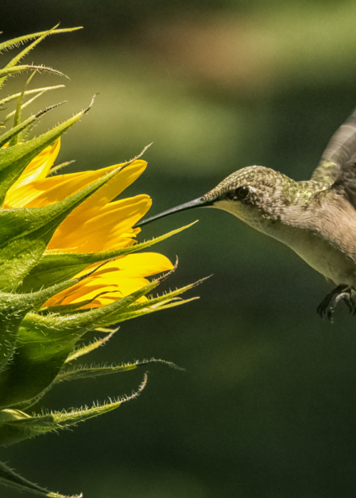 Picture of Hummingbird and Sunflower