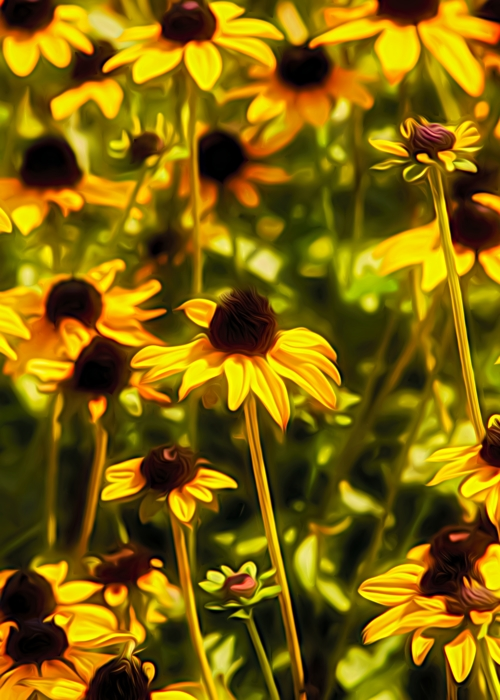 Picture of Blackeyed Susans