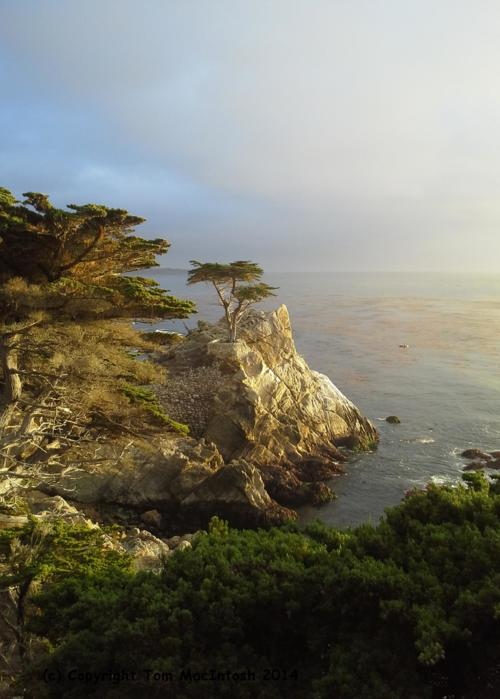 Picture of Lone Cypress