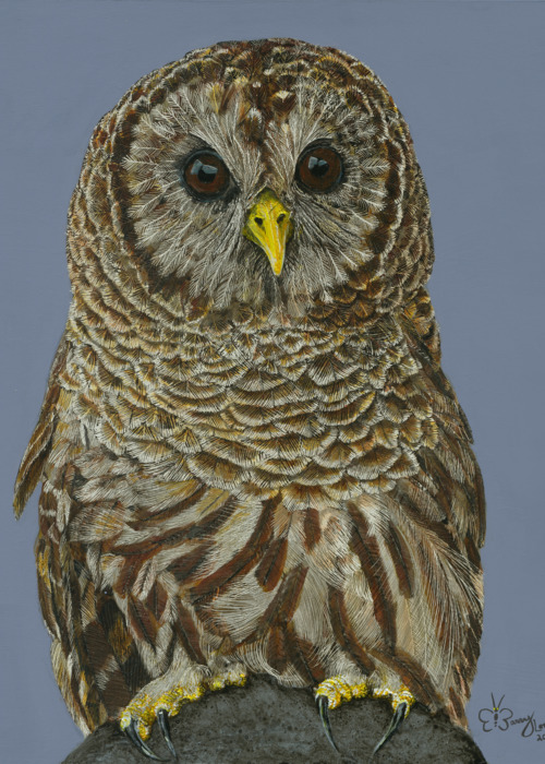 Picture of Barred Owl